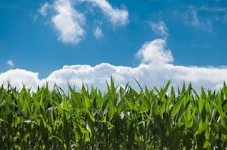 Campo de maíz y un cielo azul
