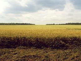 Campo de trigo paisaje