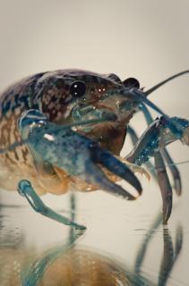 Cangrejos de río, azul, concha