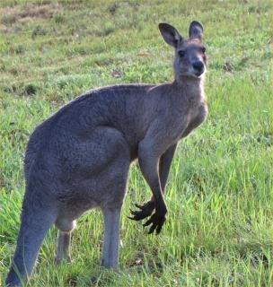 canguro gris macho