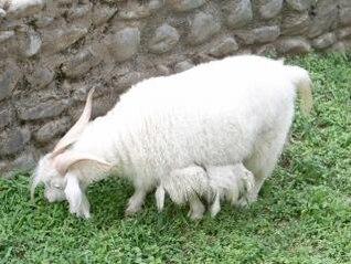 caprino, animales de compañía