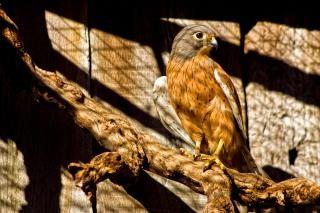 Cautivo halcón peregrino presa