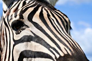 Cebra perfil cian