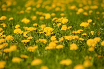 Césped con lindas flores amarillas