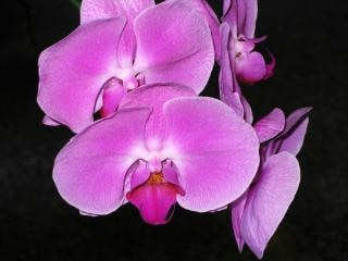 chino orquídea mariposa