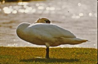 cisne, ave