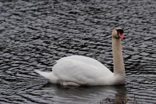 cisne, un estanque