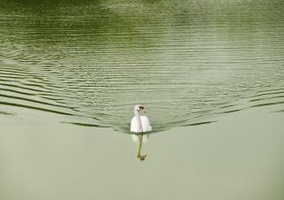 cisne blanco en el lago