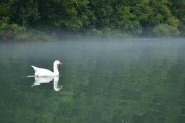 cisne en un río