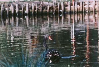 cisne negro, pájaro