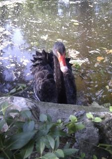 Cisne negro en el parque Madrid España nadar