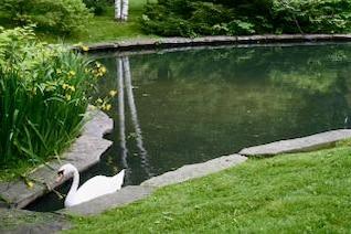 cisne pájaro blanco
