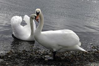 cisnes, a largo
