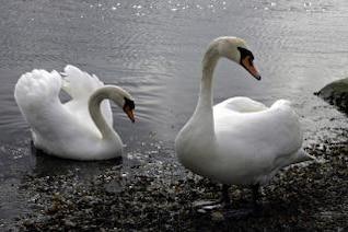 cisnes, blanco