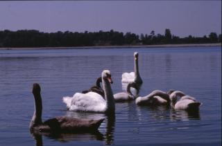 cisnes, grupo