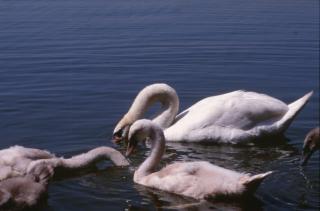 cisnes del estanque