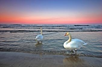 Cisnes en el agua del mar