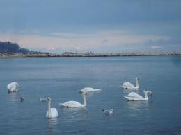 cisnes en el costo de la costa del mar negro