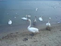 cisnes en los cisnes negros de costos mar