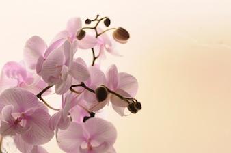 Close-up de orquídeas blancas sobre fondo claro. Phalaenopsis Orquídea rayado aislado. Rosa orquídea en olla sobre fondo blanco. Imagen del amor y la belleza. Fondo natural y elemento de diseño.