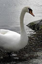 close-up del cisne