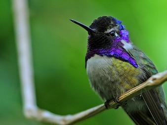 Colibrí pájaro violeta jefe elfo costa s