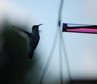 colibrí, alas