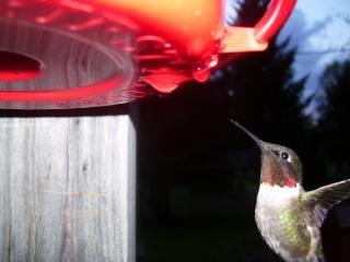 colibrí, vuela