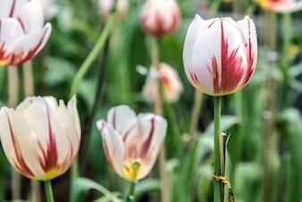 Colorido tulipán en primavera