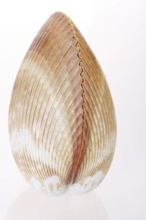 concha de pescado