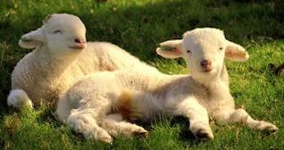 corderos corderos