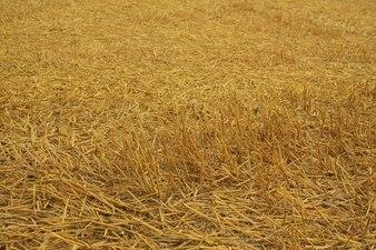cosecha de cereales agricultura naturaleza campo de heno