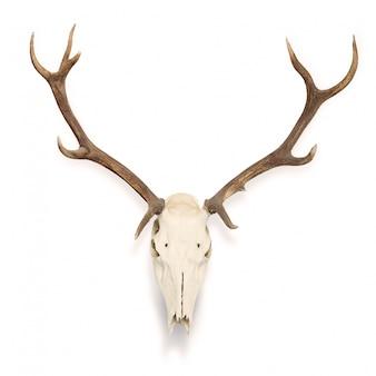 Cráneo de ciervo colgado en la pared