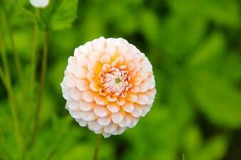 Dahlia flor planta jardín