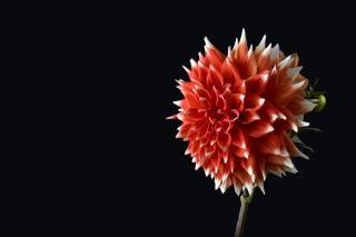 Daliha rojo muy bonito