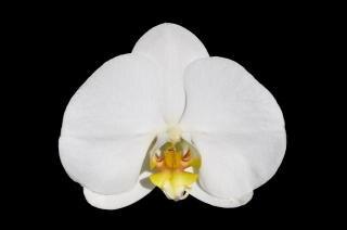 De orquídea mariposa