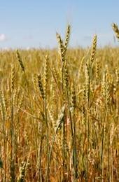 de trigo enriquecida