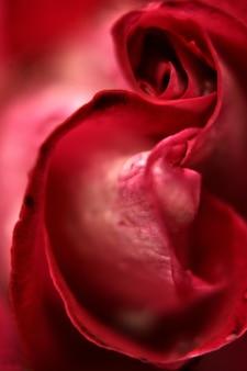 Detalle de rosa roja