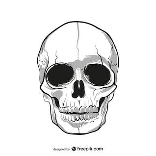 Dibujo de cráneo humano