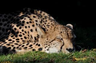 Dormir guepardo