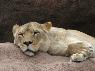 Dormir leona