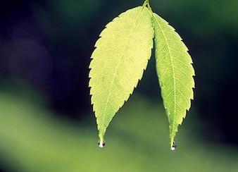 dos hojas con gotas de agua de material de imagen
