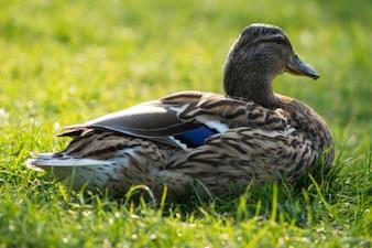 Descanso pato en la hierba
