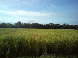 el arroz comenzó a ponerse amarillas