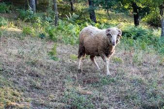 El carnero está en el prado