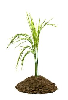 El crecimiento de plántulas de semilla verde blanco