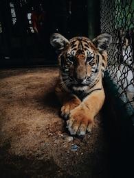 El pequeño tigre