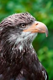 el perfil de águila