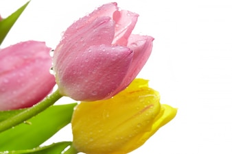 El romance textura de la flor del tulipán