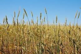 el trigo crezca